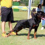 Jako-DellAntico-Guerriero-150x150 JOLI Dell'Antico Guerriero Cani Cani - Campioni Dell'Antico Guerriero Cani - Campioni Recenti