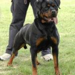 triniti_dell_antico_guerriero_3-150x150 ARKON Dell'Antico Guerriero Cani Cani - Soggetti Storici