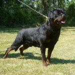 Indior-DellAntico-Guerriero-150x150 RACHELE Dell'Antico Guerriero Cani Cani - Soggetti in Allevamento