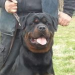 Jamal-DellAntico-Guerriero-150x150 ROCKY Vom Steintor Rott Cucciolate Cucciolate - Stalloni