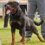 Rio-Del-Colle-Canino-150x150 ROCKY Vom Steintor Rott Cucciolate Cucciolate - Stalloni
