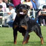 sharon-dellantico-guerriero_500x330-150x150 SIRIA Dell'Antico Guerriero Cani Cani - Campioni Dell'Antico Guerriero Cani - Soggetti Storici