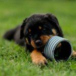 Apache-Junior-DellAntico-Guerriero-60-Giorni-1-150x150 Nuova Cucciolata - E (Rottweiler) Allevamento Cucciolate Cucciolate - Cuccioli Disponibili Cucciolate - Rottweiler News Varie