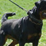 Belen-DellAntico-Guerriero-150x150 JOLI Dell'Antico Guerriero Cani Cani - Campioni Dell'Antico Guerriero Cani - Campioni Recenti