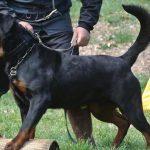 Dankim-DellAntico-Guerriero-150x150 JOLI Dell'Antico Guerriero Cani Cani - Campioni Dell'Antico Guerriero Cani - Campioni Recenti