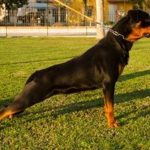 Joli-DellAntico-Guerriero-1-150x150 BENEDICTA Dell'Antico Guerriero Cani Cani - Campioni Recenti