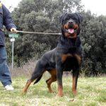 Malesia-DellAntico-Guerriero-150x150 GLENO Dell'Antico Guerriero Cani Cani - Soggetti Storici