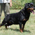 Malindy-DellAntico-Guerriero-150x150 TRINITY Dell'Antico Guerriero Cani Cani - Campioni Dell'Antico Guerriero Cani - Soggetti Storici