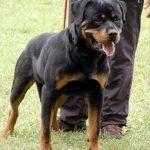 Obelix-DellAntico-Guerriero-150x150 UNIQUE Aus Dem Blumental Cani Cani - Soggetti Storici