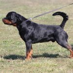 ROCKY-Vom-Steintor-Rott-150x150 TK's Gambler Cucciolate Cucciolate - Stalloni