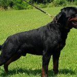 Yarno-DAG-640-150x150 PALMARES dell'Allevamento Rottweiler Dell'Antico Guerriero Uncategorized