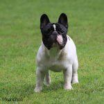 A-Vigdors-Nemesius-150x150 Nuova Cucciolata - E (Rottweiler) Allevamento Cucciolate Cucciolate - Cuccioli Disponibili Cucciolate - Rottweiler News Varie
