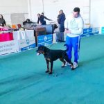 Amy-DellÁntico-Guerriero-Internazionale-di-Catanzaro-2019-150x150 Allevamento Rottweiler: Indior Dell'Antico Guerriero in USA Allevamento Breaking News Francesco Zamperini News Rottweiler Vendita