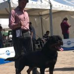 Yarno-DellAntico-Guerriero-Internazionale-di-Rieti-2019-06-150x150 International Dog Show - Gonzaga 11 Marzo 2018 Bouledogue Francese Breaking News Expo Francesco Zamperini News