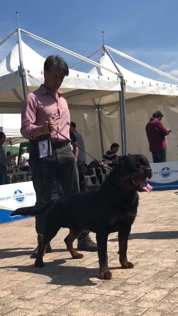 Yarno-DellAntico-Guerriero-Internazionale-di-Rieti-2019-06-576x1024 Layout Cane 2019 Cucciolate Cucciolate - Cuccioli Disponibili Cucciolate - Rottweiler