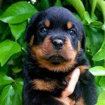 Rottweiler-Cucciolo-Rottweiler-Allevamento-DellAntico-Guerriero-03-150x150 Giovane Femmina Allevamento News Vendita
