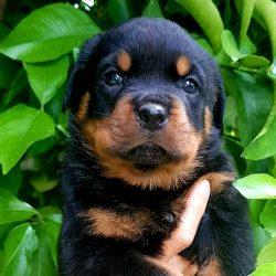 Rottweiler-Cucciolo-Rottweiler-Allevamento-DellAntico-Guerriero-03-250x250 YARNO Dell'Antico Guerriero (BOZZA 03)