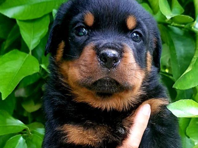 Rottweiler-Cucciolo-Rottweiler-Allevamento-DellAntico-Guerriero-03-640x480 IL BLOG - Dell'Antico Guerriero
