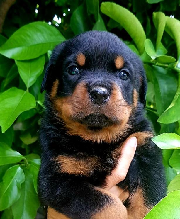 Rottweiler-Cucciolo-Rottweiler-Allevamento-DellAntico-Guerriero-03 Blog