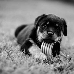 Cucciolo-di-Rottweiler-Allevamento-DellAntico-Guerriero-250x250 YARNO Dell'Antico Guerriero (BOZZA 02)