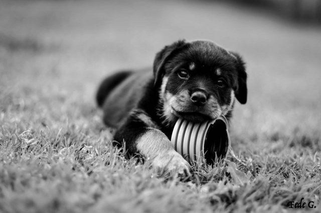 Cucciolo-di-Rottweiler-Allevamento-DellAntico-Guerriero-640x426 Blog