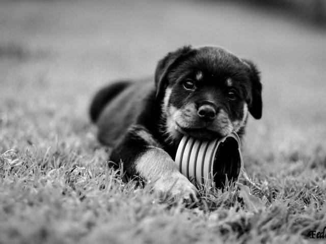 Cucciolo-di-Rottweiler-Allevamento-DellAntico-Guerriero-640x480 IL BLOG - Dell'Antico Guerriero